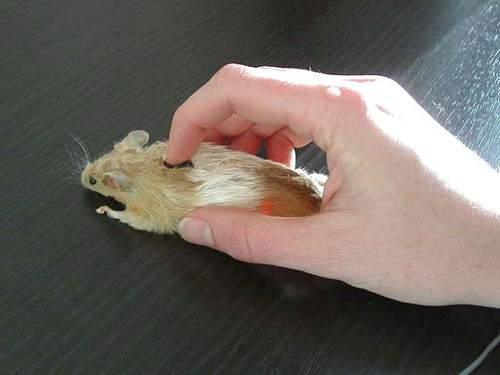 computer_mouse_using_a_real_dead_mouse_4.jpg